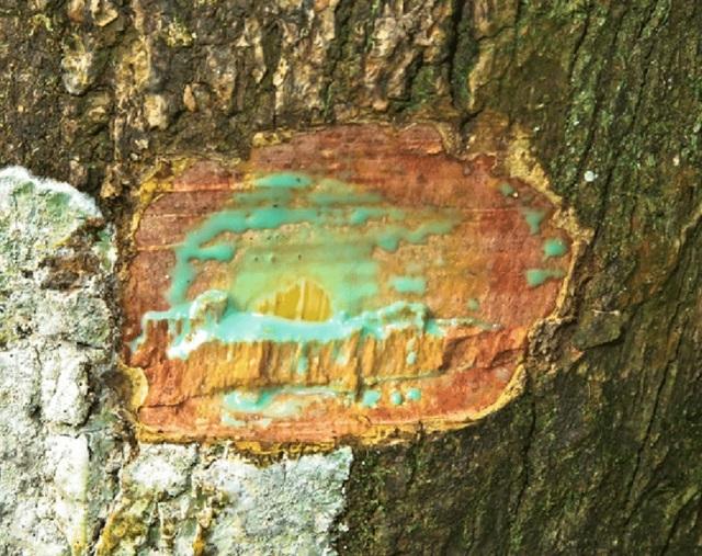 Деревья, которые аккумулируют металл