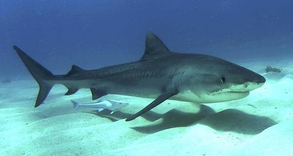 Пресноводные акулы приходят в Никарагуа из океана