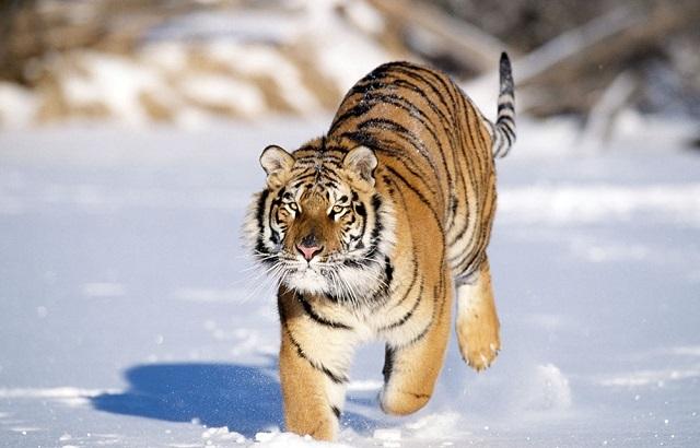 Двух амурских тигров выпустят весной в тайгу