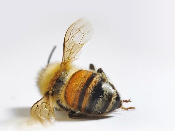 Пестициды - причина разрушения колоний пчел