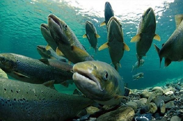 Популяции форели и саламандры быстро приходят в норму после суровых засух
