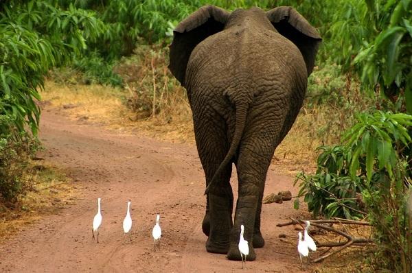 Азиатские слоны могут потерять почти половину ареала в Индии и Непале