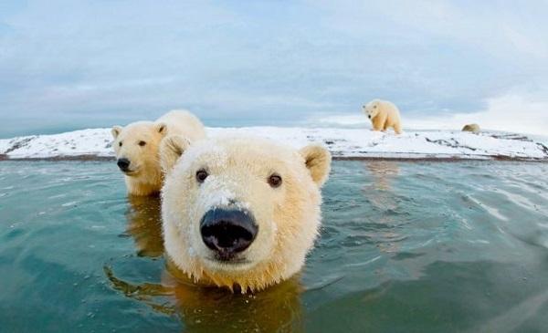 Ученые вынашивают смелый план по спасению белых медведей