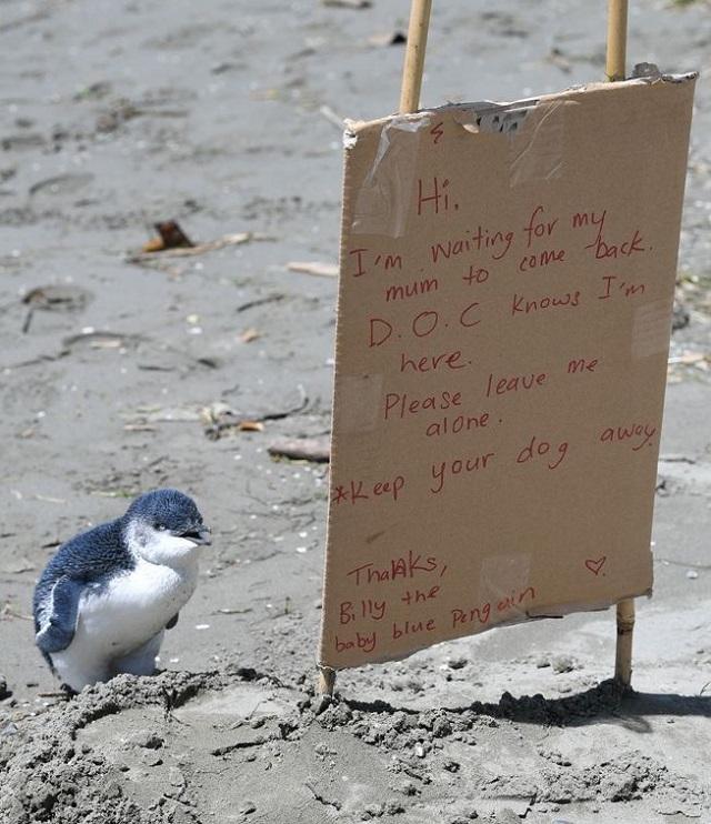 Люди приходят на помощь, чтобы перевести то, что хочет сказать маленький голубой пингвин