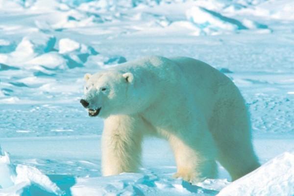 Белый медведь - крупный и опасный хищник севера