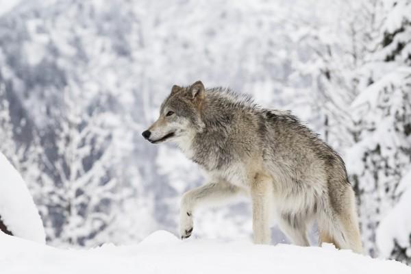 Полярный волк: красивый хищник севера