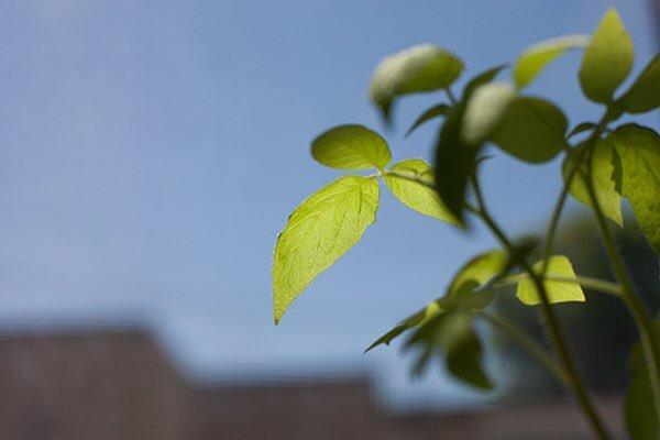 Хороший фотосинтез - не всегда хороший урожай