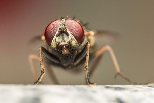 Муха-качок Шварценеггер, муха-нефтеманка и другие интересные факты о назойливых насекомых