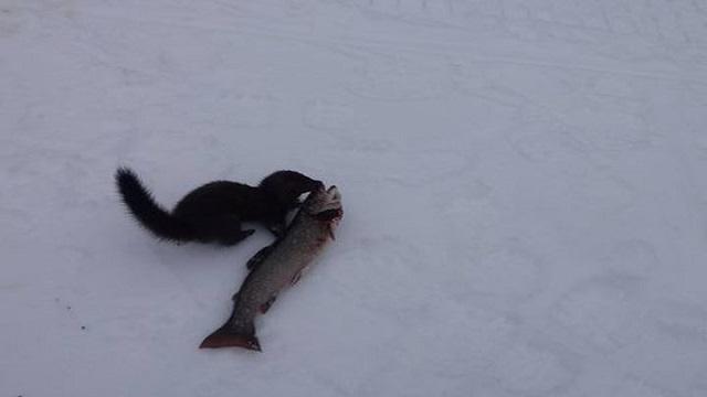 Бесстрашная норка попыталась отобрать у рыбаков щуку. Видео
