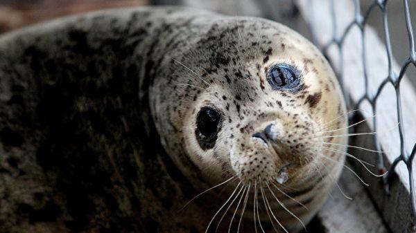 Город Роддиктон-Биде Арм заполонили тюлени