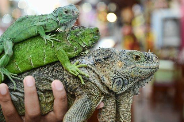 Изменение климата является причиной гибели амфибий и рептилий