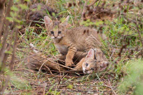 В Австралии диких кошек уничтожают с помощью дронов