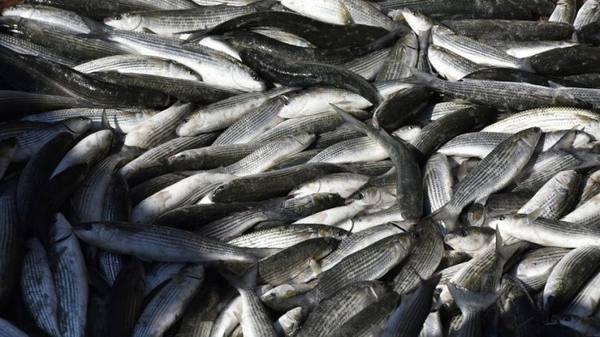 Новороссийские рыбаки ловят кефаль в ливневке