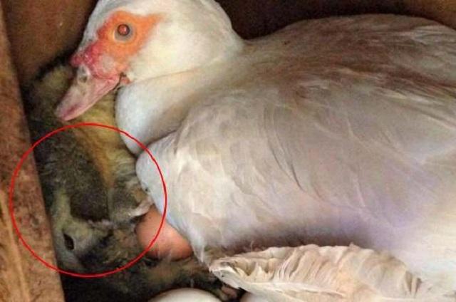 Сердобольная утка пригрела зверька в гнезде