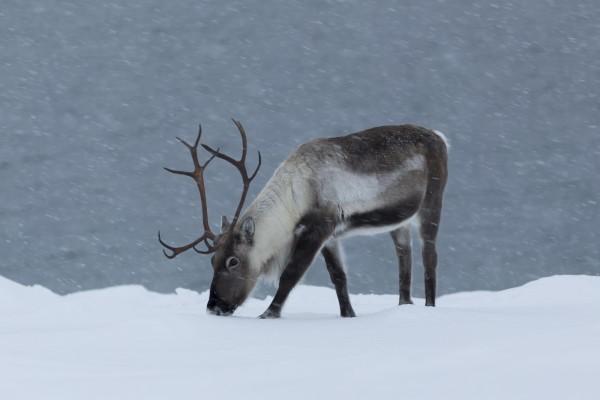Северный олень: яркий представитель тундры и тайги