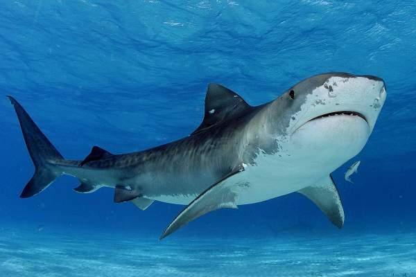 Ученые: микробиом кожи акул может защищать раны от инфекции
