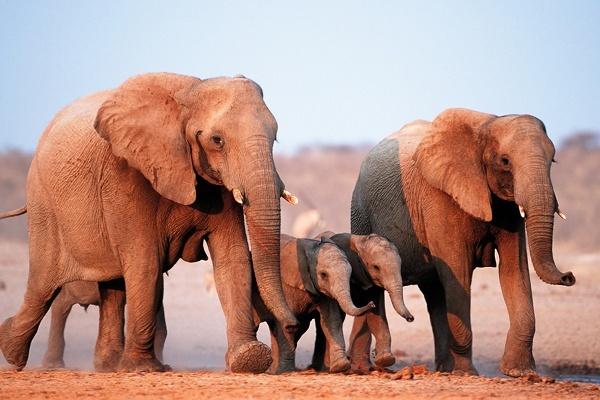 Слоны почти не болеют раком: почему?