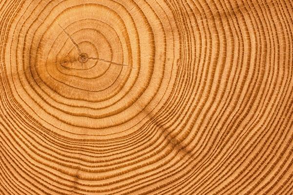 Годичные кольца деревьев записывают историю засухи