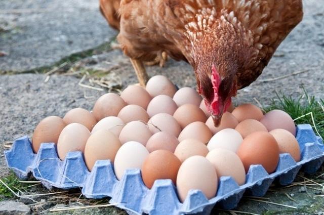 Благодаря биотехнологии куриные яйца могут стать лекарством против рака