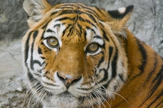 Амурская тигрица Тайга отправится в Казахстан