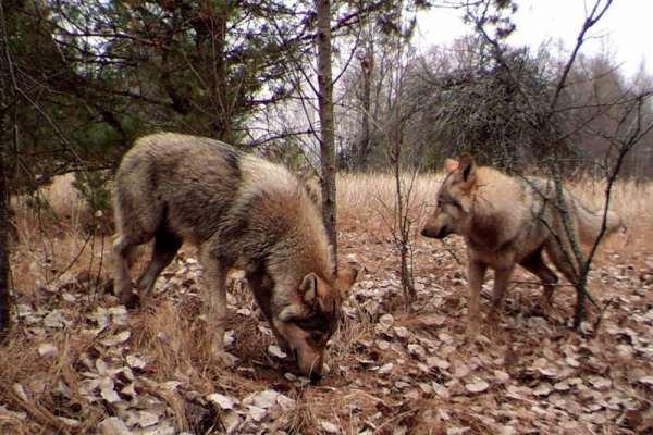 В Чернобыльском заповеднике восстановлена фауна
