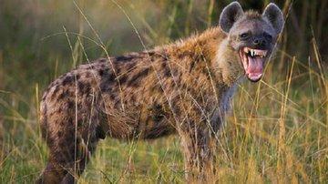 Гиена - царица хищников Африки
