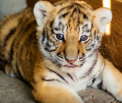 В тульском цирке на свет появился гибрид тигра и льва