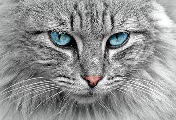 Американский приют ищет хозяев для самой злобной в мире кошки
