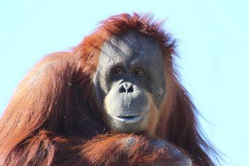 В лесах Борнео орангутанг хотел помочь человеку выбраться из реки