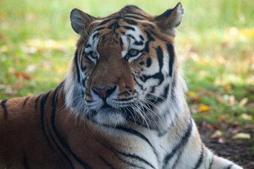Амурский тигр, названный в честь радиостанции