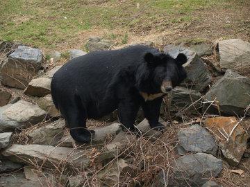 В Приморском крае к жизни в дикой природе готовят гималайских медвежат