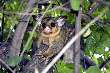 Жительница Австралии обнаружила дикое животное на потолке в своем доме