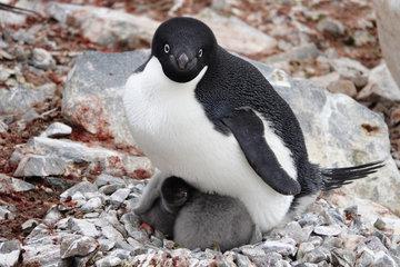 Пингвины Адели только выиграют от потепления в Антарктиде