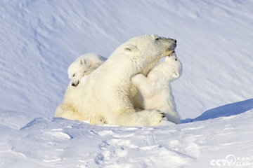 Белые медведи могут исчезнуть к 2100 году
