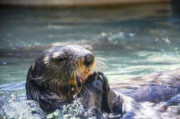 На Аляске выдра спаслась от косатки на лодке