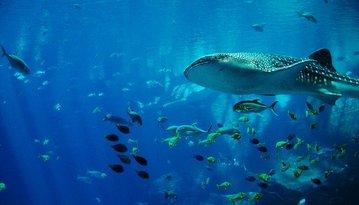Биологи признали самку китовой акулы самой большой рыбой в мире