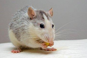 Крысы могут смеяться, когда их щекочут