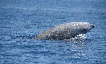 Клювый кит установил рекорд по погружению в воду среди млекопитающих