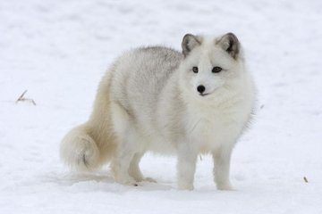 Песец: красивый хищник севера, способный выжить в самых суровых условиях