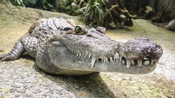 Во Флориде гигантский аллигатор вылез из водоёма после урагана