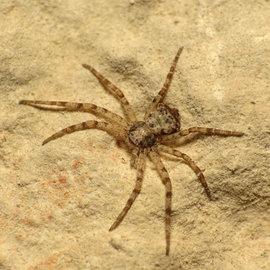 Самцы пауков-филодромид связывают самок перед спариванием