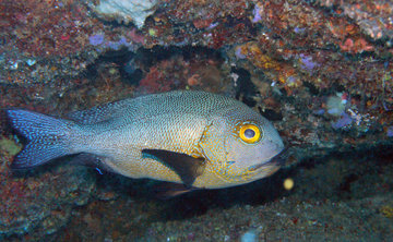 У побережья Австралии обнаружили старейшую рифовую рыбу на Земле