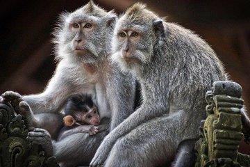 Обезьяны на Бали требуют у туристов выкуп за украденные вещи