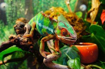 На Мадагаскаре обнаружили самого крошечного хамелеона в мире