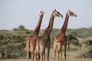 Жирафы-самки, которые общаются с друзьями, живут дольше