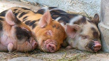 В США свиней научили играть в компьютерные игры