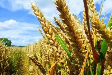 Эксперты: глобальное потепление повысит урожаи пшеницы, но ухудшит ее вкус