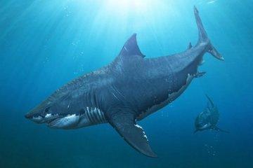Белая акула стала жертвой громадного монстра?