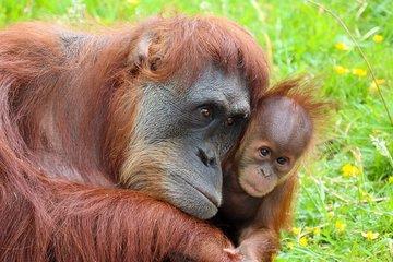 В американском зоопарке обезьян привили вакциной от COVID-19