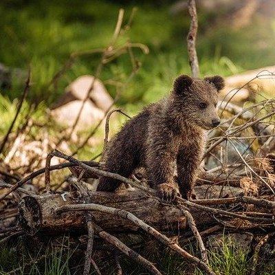 В Приморье спасли медвежонка-сироту